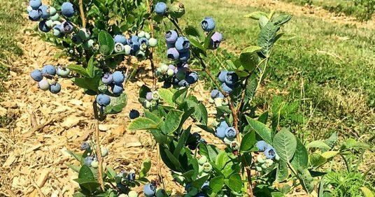 Počela sezona Bogadi bobičastog voća